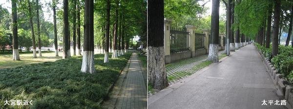 南京の街路樹.jpg